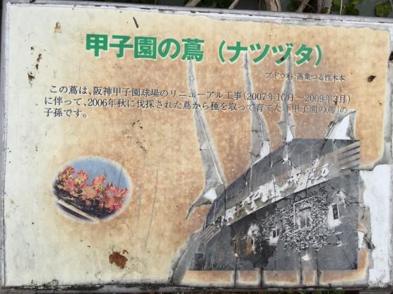 阪神電車から頂いた甲子園の蔦が開花1